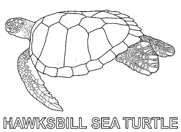 Hawksbill Sea Turtle Free Coloring Sheet Page