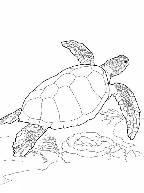 Loggerhead Sea Turtle Free Coloring Page Coloring Book