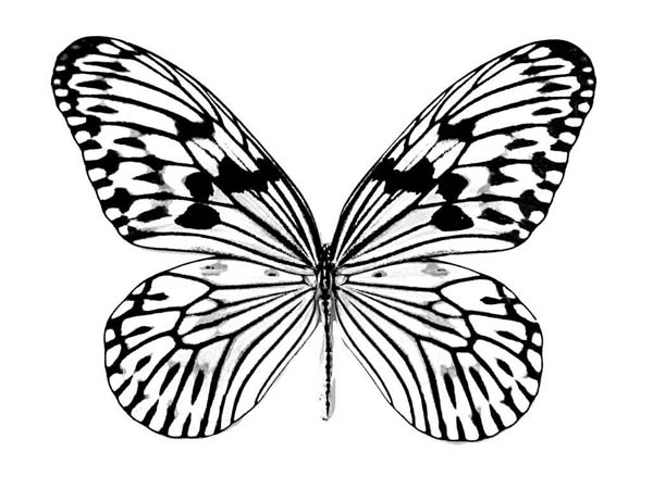 Realistic Butterfly Drawing Coloring