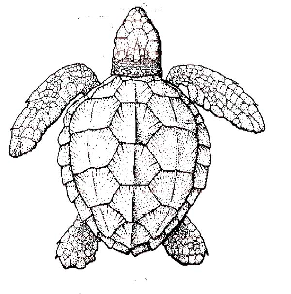 print realistic sea turtle coloring page in full size