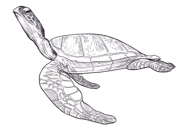 Sea Turtle Leatherback Free Coloring Page Download Print