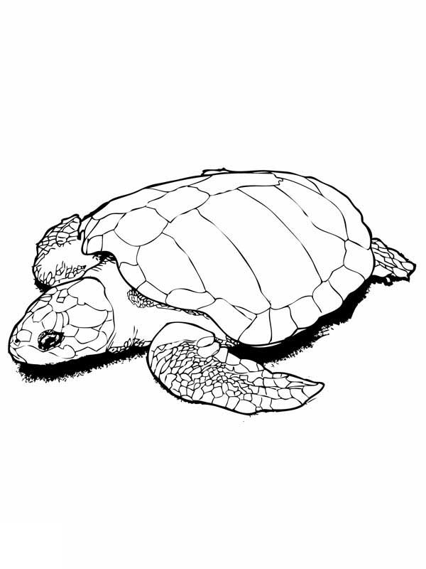 Sea Turtle In Nesting Kemp Free Coloring Page Download