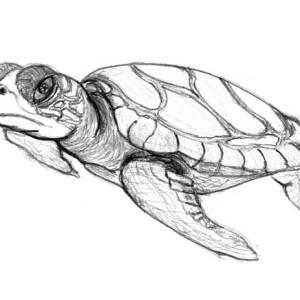Realistic Sea Turtle Coloring Page Realistic Sea Turtle