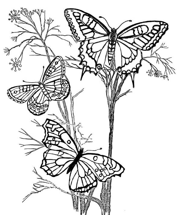 Three beautiful butterflies on the branch coloring page for Beautiful butterfly coloring pages