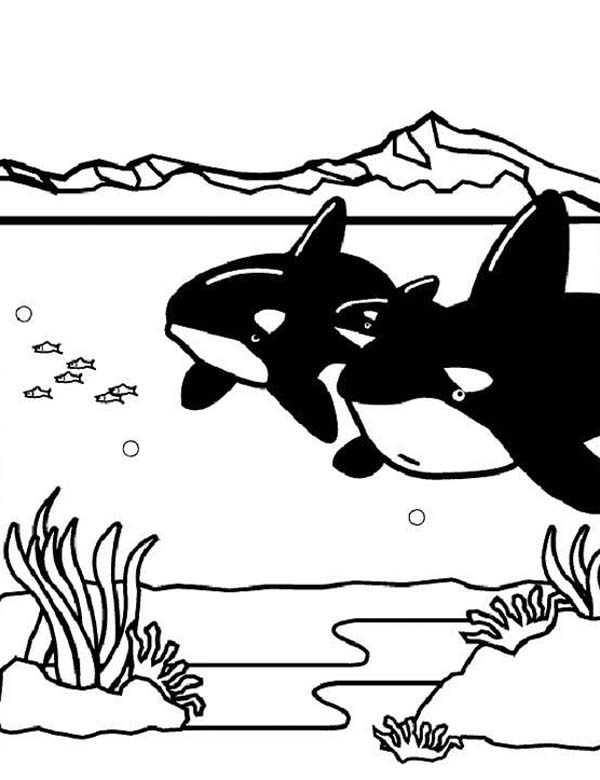 Two Killer Whales Orca On Hunting Coloring Page Download