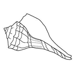 A Nice Lightning Whelk Seashell Coloring Page