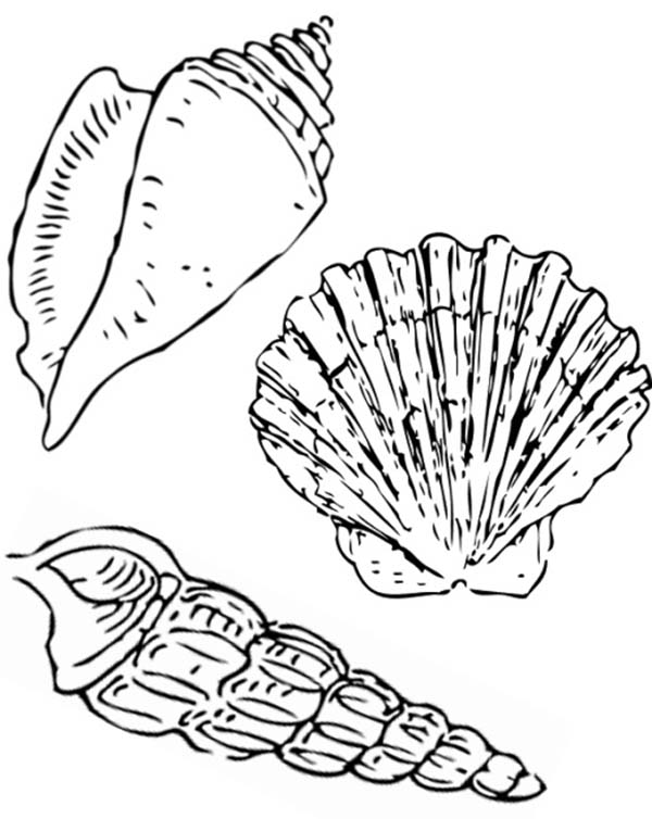 A Nutmeg Scallop And Florida Cerith Seashell Coloring Page