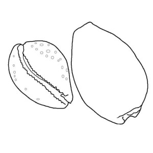 A Pair of Atlantic Bubble Seashell Coloring Page