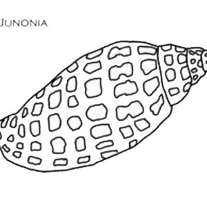 An Exquisite Junonia Seashell Coloring Page