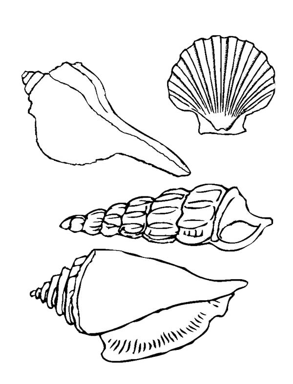 Four beautiful types of seashell coloring page download for Shells coloring page