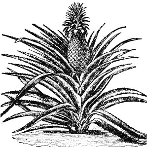 Pineapple Plant in Hawaii Coloring Page