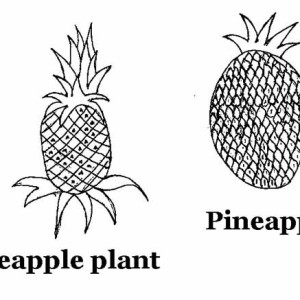 The origin of Pineapple Plant Coloring Page