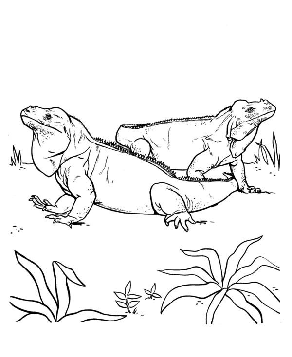 Simple iguana coloring pages for Green iguana coloring page
