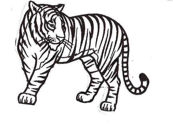A Healthy Sumatran Tiger in the