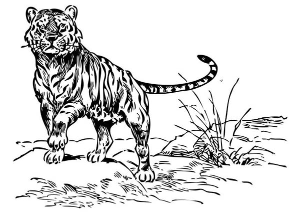 Detroit tigers paws free coloring pages for Tiger paw coloring page