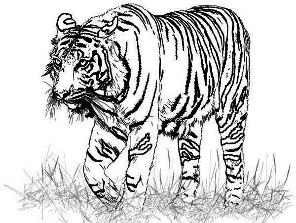 print a realistic drawing of bengal tiger coloring page in full size