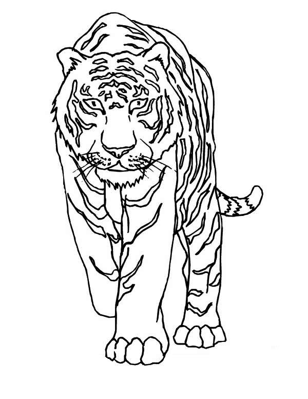 A Tiger Walking Very Cautiously Coloring Page A Tiger