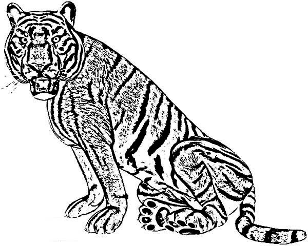 An Angry Face of a Tiger Coloring Page  Download  Print Online