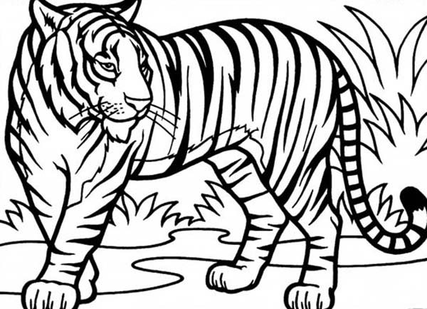 An illustration of sumatran tiger in conservation coloring page