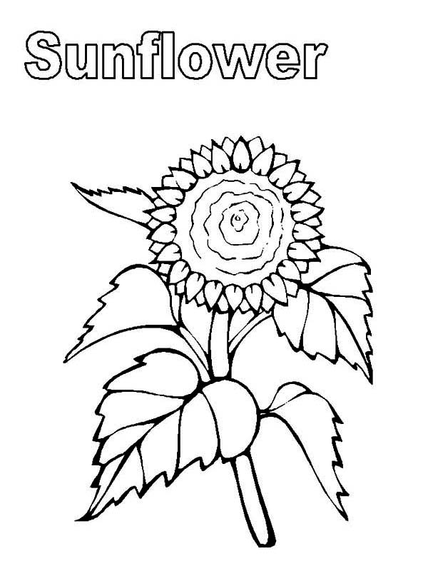 My sunflower coloring page download print online for Coloring pages of sunflowers