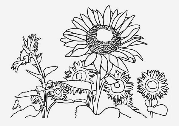 Sunflower Farm Coloring Page Download Amp Print Online