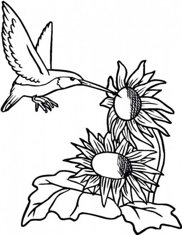 Sunflower and Hummingbird Coloring Page Download Print Online