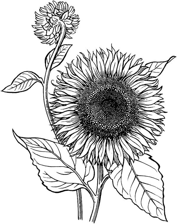 Sunflower is Blooming Coloring Page Download Print Online