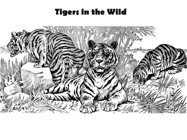 three tigers and its pact coloring page - Coloring Pages Tigers Print