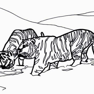 Two Siberian Tigers on Its Snowy Habitat Coloring Page