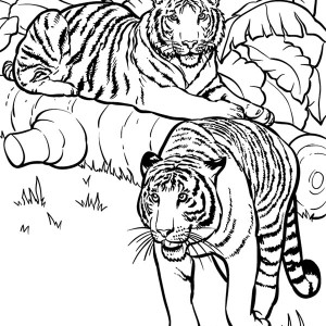 Two Tigers Ready for Hunting Coloring Page