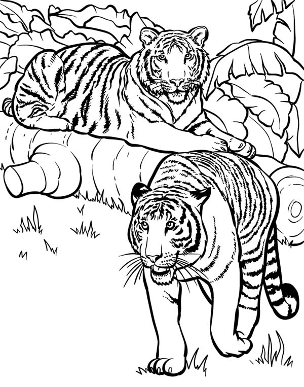 tiger two tigers ready for hunting coloring page