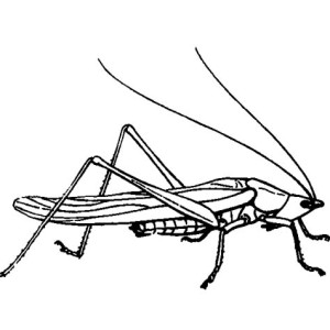 Grasshopper Drawing Coloring Page
