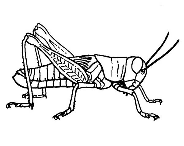 grasshopper picture coloring page - Grasshopper Coloring Page