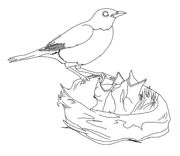 Hungry Robin Babies Coloring Page Download Print Online