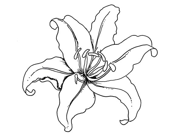 coloring pages of lily flowers download
