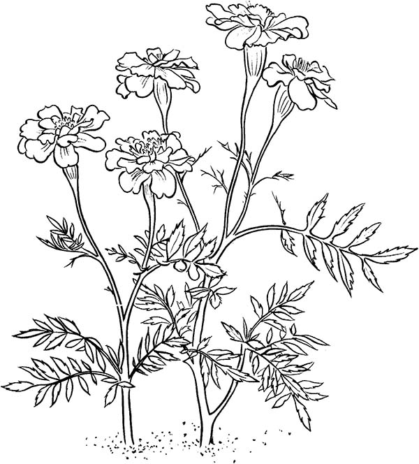 Marigold Flower Line Drawing : Marigold plant drawing pixshark images