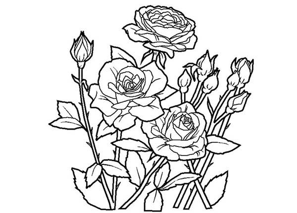 new fresh rose coloring page - Rose Coloring Pages
