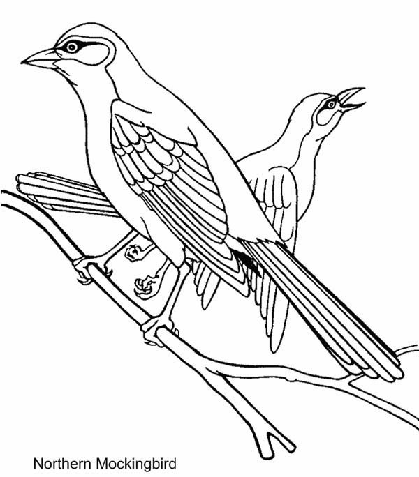 Northern Mockingbird Coloring Page Download Print Online