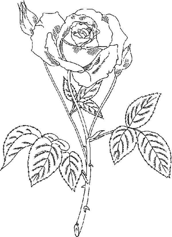 Print rose with thorn coloring page in full size