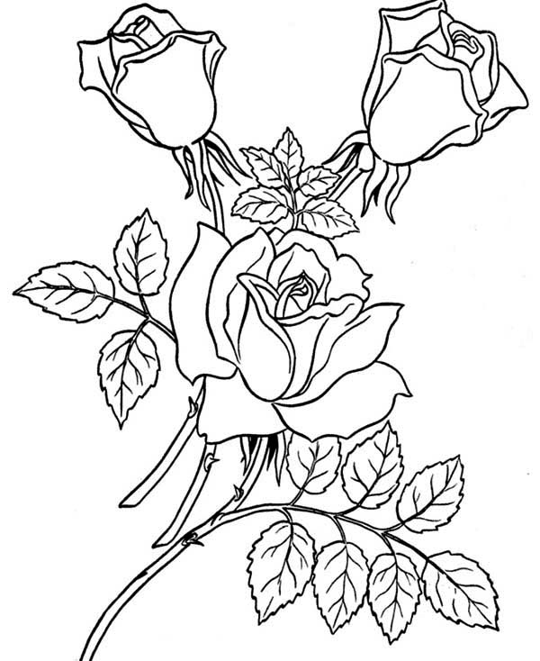 three beautiful rose coloring page