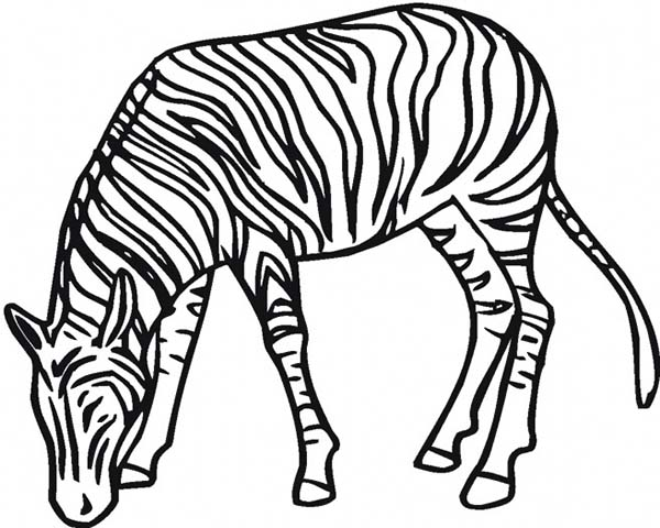 zebra eating grass coloring page zebra eating grass