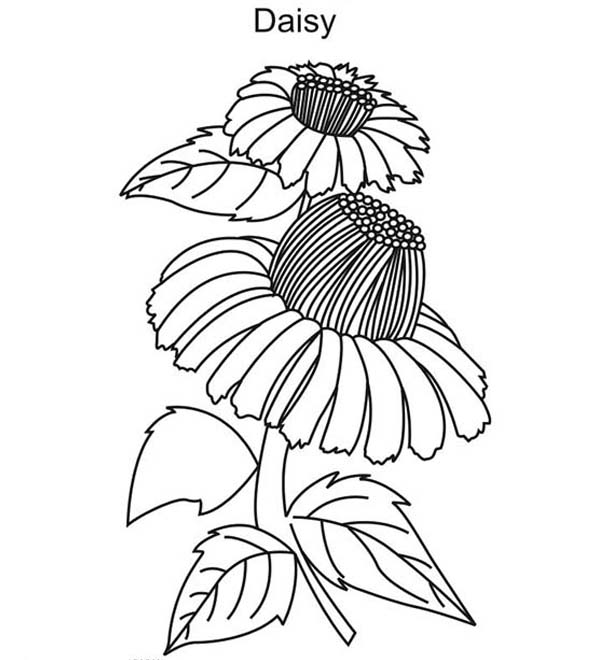 Beautiful Daisy Flower Coloring Page Download Print Online