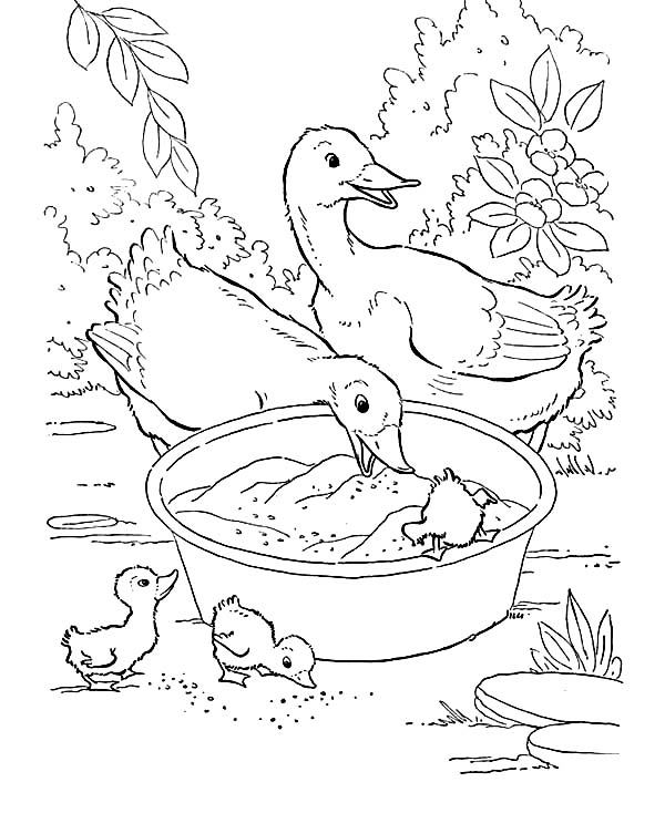 Bunch of Duckling Eating from Basin Coloring Page  Download