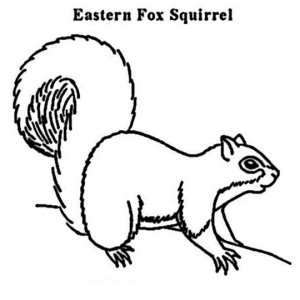 Eastern Fox Squirrel Coloring Page