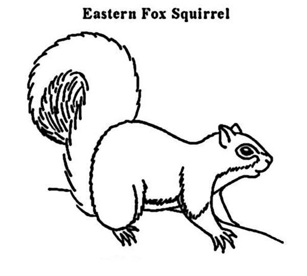 print eastern fox squirrel coloring page in full size - Realistic Squirrel Coloring Pages