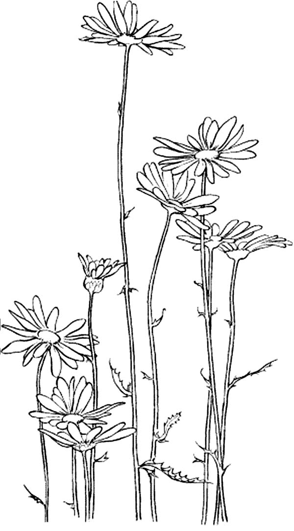 Garden of Daisy Flower Coloring Page Download Print Online