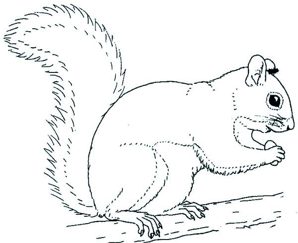 Grey Squirrel Coloring Page - Download & Print Online Coloring Pages ...