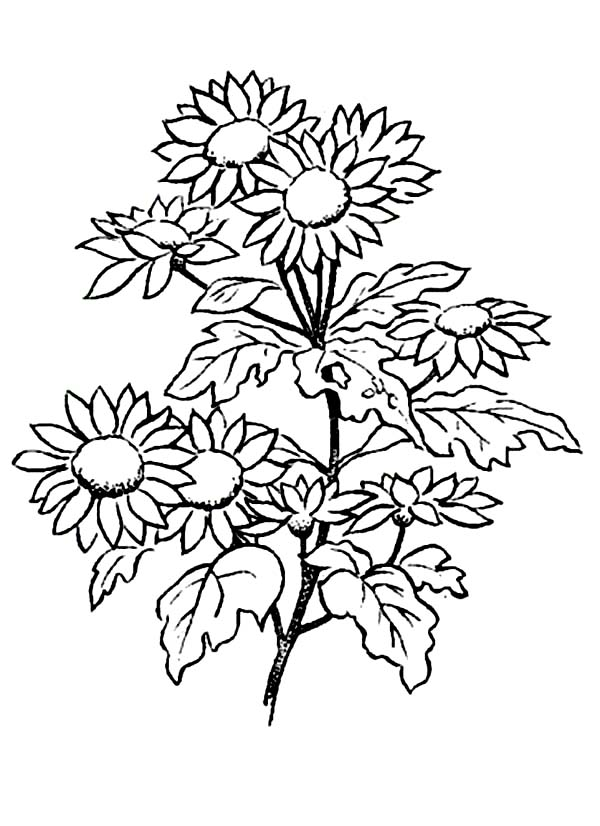 Picture of Daisy Flower Coloring Page Download Print Online