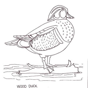Wood Duck Duckling Coloring Page