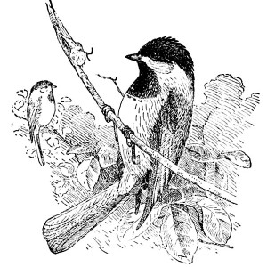 Awesome Drawing of a Chickadee Coloring Page